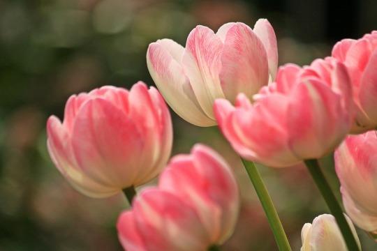 tulips-1134103_960_720.jpg